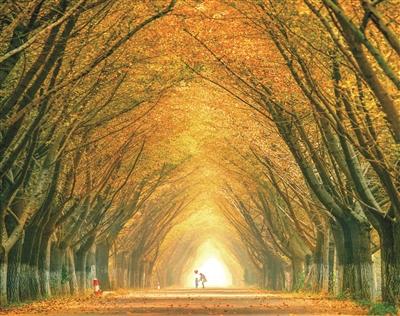 """而在银杏园西部,有邳州艾山景区;中部则是闻名遐迩的""""时光隧道"""",盆景"""