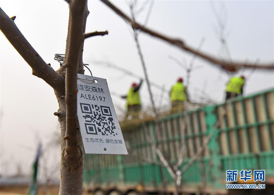 """这是河北雄安新区""""千年秀林""""栽植苗木上的二维码(2018年3月21日摄)。新华社记者 牟宇"""