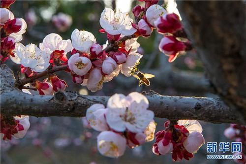 河南石峡沟:杏花渐开蜂自舞