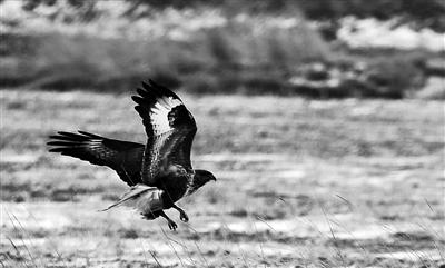 草原上的雄鹰