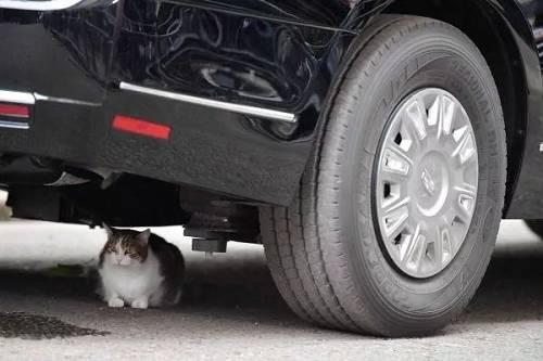 """猫咪""""拉里""""躲在特朗普的专车下。(法新社)"""