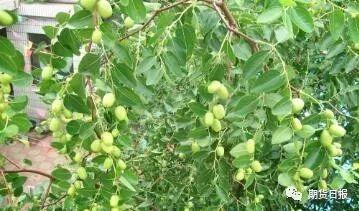 """不过,由于枣的特性,一时的极端气候造成的产量影响并不会持久。据了解,新疆的红枣7月中旬-8月中旬处于初果期,8月中旬之后就开始进入成熟期了。""""枣是无限花序,只要温度合适会不停地开花坐果。但是当坐果达到一定程度之后,树体能够提供的营养有限,在不外部施用农药干预的前提之下,会自然淘汰一些小果。除此之外,持续的高温会也会对造成落果的现象。""""金石期货投资部主管黄李强表示。"""