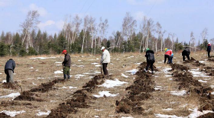 塞罕坝林场工人在紧张劳动