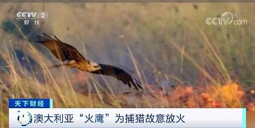 """不过研究人员也表示出担心,他认为这些鸟类并非山火蔓延的主要因素,目前尚不清楚""""火鹰""""""""纵火""""这种行为有多普遍,或者是否存在。"""