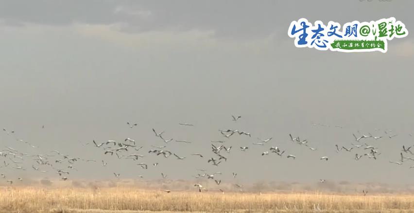 """【生态雅致@湿地】新疆湿地水系增补 迎来""""稀客""""灰鹤在此越冬"""
