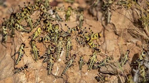 据统计,现在东非地区沙漠蝗数目已达3600亿只,仅一个蝗虫群阵就长60公里、宽40公里。不光这样,据《东非人报》2月16日报道,蝗虫群在蔓延至七个东非国家的迁徙路线上一路产卵,展看将在3至4月份孵化。说相符国粮食及农业结构(FAO)外示tt直播,若不添以遏制tt直播,蝗虫数目将呈指数型上涨tt直播,或在6月达到500倍之众。据推想,即使是一幼群蝗虫,每天也能够吞失踪3.5万人的食物。