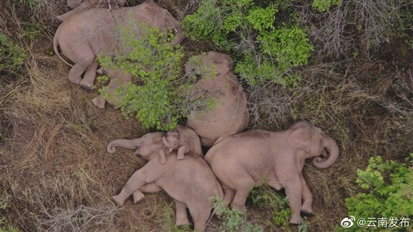 无人机拍下野象群睡觉休息画面:真香