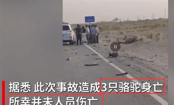 戈壁公路上又见小车与骆驼相撞:3只骆驼身亡