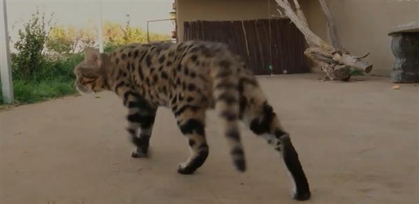 一脸蠢萌却被全世界禁养的猫:猎食成功率是狮子3倍
