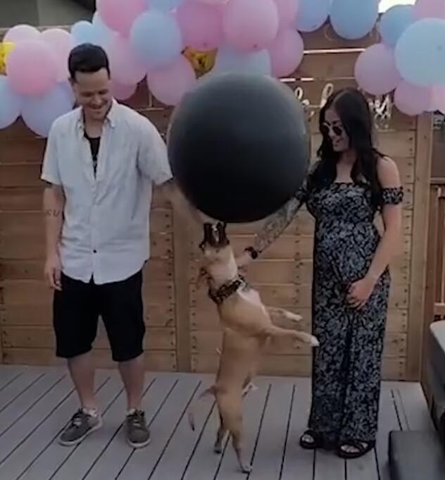 加拿大一对夫妇让宠物狗撞破气球揭秘胎儿性别 结果气球被撞飞