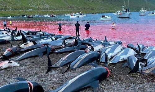 德媒:丹麦属下法罗群岛屠杀1400头海豚血染大海 野蛮传统怎么破