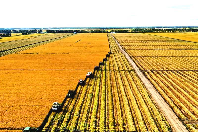 北大荒洪河农场有限公司分段收获抢收水稻